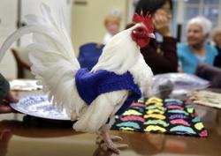 """Prince Peep,"" a rooster native to Malaysia, wears a sweater at Fuller Village retirement home in Milton, Mass."