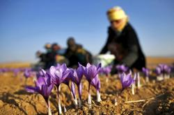 An Iranian farm worker harvests saffron flowers just outside the city of Torbat Heydariyeh, Iran.