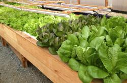 This March 30, 2016, shows some of the produce grown in the local school's wood-heated aquaponics greenhouse in Naukati, Alaska