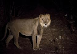 This photo taken on Sunday, April 3, 2011 and released by Panthera shows an adult male lion during a joint Panthera/DPN (Direction des Parcs Nationaux) lion survey in Niokolo-Koba National Park in south eastern Senegal