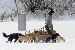 In this Thursday, Dec. 15, 2016, file photo, a dog walker controls multiple canines on a walk at Congress Park in Saratoga Springs, N.Y.