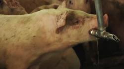 Hogs v. Humans: Neighbors Fight Swine Waste