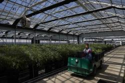 In this Thursday, April 12, 2018, photo, a worker drives a cart past cannabis plants in a greenhouse at Glass House Farms in Carpinteria, Calif.