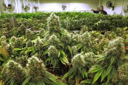 This Sept. 15, 2015 file photo shows marijuana plants a few weeks away from harvest in a medical marijuana cultivation center in Albion, Ill.