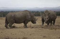 In this Friday, March 2, 2018 photo Fatu, left, and Najin, right, they only two female northern white rhinos left in the world, grace in the pen where they are kept for observation, at the Ol Pejeta Conservancy in Laikipia county in Kenya