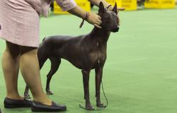 In this Feb. 15, 2016, file photo, a xoloitzcuintli is shown in the ring during the non-sporting group competition at the140th Westminster Kennel Club dog show, at Madison Square Garden in New York
