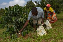 Workers fertilise coffee plants, on Mount Gorongosa, in Mozambique.