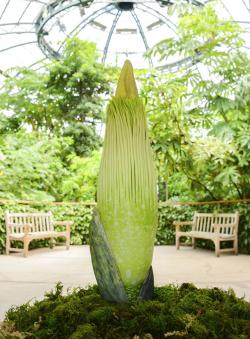 """Amorphophallus titanum or """"Corpse Flower"""" at The Huntington Library, Art Collections, and Botanical Gardens in San Marino, Calif."""