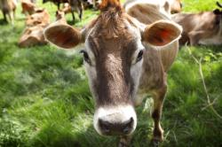 A Jersey cow feeds in a field on the Francis Thicke organic dairy farm in Fairfield, Iowa.