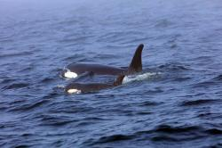 In this Tuesday, Aug. 7, 2018, Southern Resident killer whale J50 and her mother, J16, swim off the west coast of Vancouver Island near Port Renfrew, B.C.