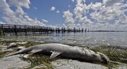 In this Monday Aug. 6, 2018 photo, a dead Snook is shown along the water's edge in Bradenton Beach, Fla.