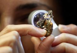 Scientist Ester Gaya examines the fungus Isaria sinclairii on an insect also known as a zombie fungus at Kew Gardens' fungarium in London, Tuesday, Sept. 11, 2018