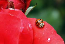 n this May 26, 2010 file photo, a Coccinellidae, more commonly known as a ladybug or ladybird beetle.