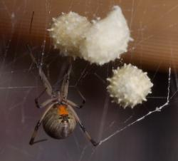 This Sept. 3, 2004, file photo shows a Brown Widow spider, displaying the famous red hour glass marking under her abdomen, guards her egg sacs near Archer, Fla.
