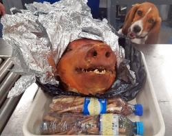 CBP Agriculture Detector K-9 named Hardy looks at a roasted pig's head at Atlanta's Hartsfield-Jackson International Airport.
