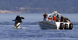 An orca leaps out of the water near a whale watching boat in the Salish Sea in the San Juan Islands, Wash.