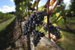Pinot noir grapes await harvest at the Benton-Lane Winery in Monroe, Ore.