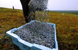 In this Aug. 24, 2018 file photo, a worker pours wild blueberries into a tray at a farm in Union, Maine
