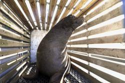 In this March 14, 2018 file photo, a California sea lion that was trapped at Willamette Falls in the lower Willamette River waits to be released into the Pacific Ocean near Newport, Ore.