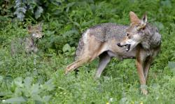 In this June 13, 2017 file photo, a red wolf female peers back at her 7-week old pup in their habitat at the Museum of Life and Science in Durham, N.C.