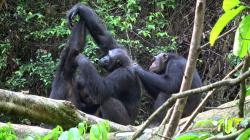 In this November 2018 photo provided by Tobias Deschner, male chimpanzees of the Rekambo community groom one another in the Logano National Park in Gambia