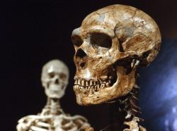 This Jan. 8, 2003 file photo shows a reconstructed Neanderthal skeleton, right, and a modern human version of a skeleton, left, on display at the Museum of Natural History in New York