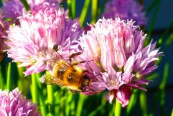 Want to Help Bees? Plant Flowering Herbs