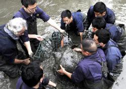In this April 7, 2016, photo, researchers lift a female Yangtze giant softshell turtle out of the water at a zoo in Suzhou in eastern China's Jiangsu province