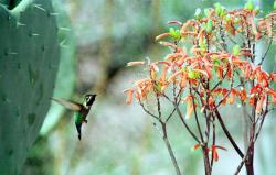 In this March, 23, 1999 file photo, a Costa's hummingbird searches a flowering Aloe Striata for a drink in Scottsdale, Ariz.