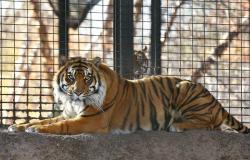 This Nov. 2018 file photo shows Sanjiv, a Sumatran tiger at the Topeka Zoo in Topeka, Kansas