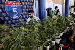 This Oct. 20, 2018, file photo shows marijuana clone plants displayed for sale by Interstate 5 Farms at the cannabis-themed Kushstock Festival at Adelanto, Calif.