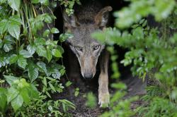 A female red wolf emerges from her den sheltering newborn pups at the Museum of Life and Science in Durham, N.C., on Monday, May 13, 2019