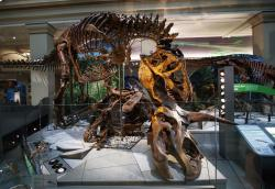"A Tyrannosaurus rex skeleton is seen on display biting a Triceratops during the Smithsonian's National Museum of Natural History's ""David H. Koch Hall of Fossils-Deep Time"" during a media preview in Washington, Tuesday, June 4, 2019"