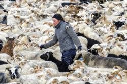 "A farmer in southern Iceland rounds-up sheep wearing the traditional ""lopi"" wool sweater."