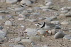 In this May 30, 2019 photo, a piping plover walks on the sand in Glen Haven, Mich.