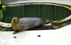 In this undated image made from video provided by the University of St. Andrews, a seal copies the sounds of the song Twinkle Twinkle Little Star, in St Andrews, Scotland