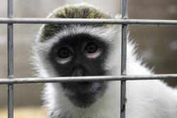 In this May 13, 2019, photo, Bella the vervet monkey looks at the camera at Primates Inc., in Westfield, Wis.