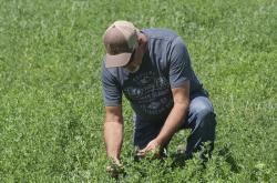 In this Wednesday, June 26, 2019, photo, Russell Jones looks at his alfalfa as he walks in his field, in Nephi, Utah