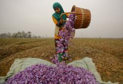 In this Nov. 1, 2015 file photo, a Kashmiri woman collects saffron flowers after plucking them at a farm in Pampore, south of Srinagar, Indian controlled Kashmir