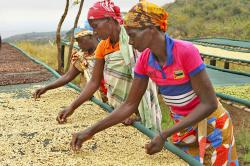 Women sort coffee beans at a coffee plantation in Mount Gorongosa, Mozambique, Sunday Aug. 3, 2019