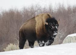 In this Feb. 12, 2011 file photo a bison from Yellowstone National Park walks through the snow shortly before being shot and killed during a hunt by members of an American Indian tribe, near Gardiner, Mont.