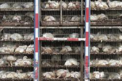 In this Thursday, Aug. 8, 2019, file photo, chickens are shipped for processing in Morton, Miss.