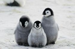 This stock image depicts penguin parents and their chick
