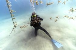 Diver Everton Simpson untangles lines of staghorn coral at a coral nursery inside the White River Fish Sanctuary on Monday, Feb. 11, 2019, in Ocho Rios, Jamaica