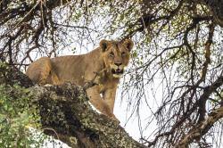 In this Sunday July 7, 2019 photo, a young lion climbs down a tree in Tanzania's Tarangire National Park