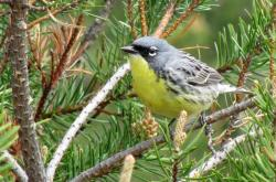 This May 19, 2008, file photo shows a Kirtland's warbler, an endangered songbird that lives in the jack pine forests of northern Michigan, near Mio, Mich.
