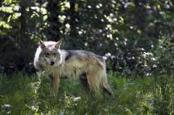 In this May 20, 2019, file photo, a Mexican gray wolf is seen at the Endangered Wolf Center in Eureka, Mo.