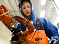 In this Tuesday, Sept. 11, 2018 photo, Kyle Bruns packs a live lobster for shipment to Hong Kong at The Lobster Company in Arundel, Maine.
