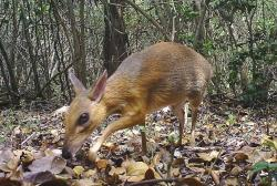 In this Jun. 21, 2018, photo, a silver-backed chevrotain is captured by camera trap in an undisclosed forest in south central Vietnam