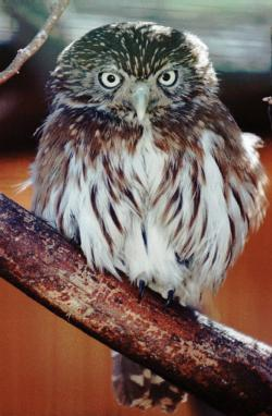 In this Jan. 16, 1998, file photo, pygmy owls, similar to this one shown at the Arizona-Sonora Desert Museum in Tucson, Ariz.,